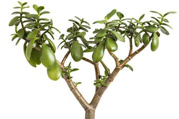 Crassula ovata tree on a white background. Crassula branch with leaves close-up