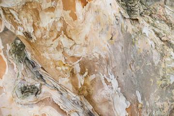 Texture of stem of the tree (Melaleuca quinquenervia)