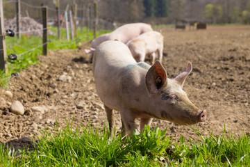 Schwein Schweine