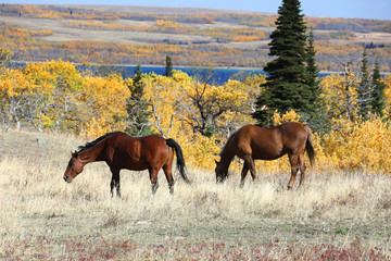 Wall Mural - Wild Horses in Montana with Fall Colors