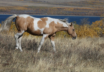 Wall Mural - Wild Horse in Glacier National Park