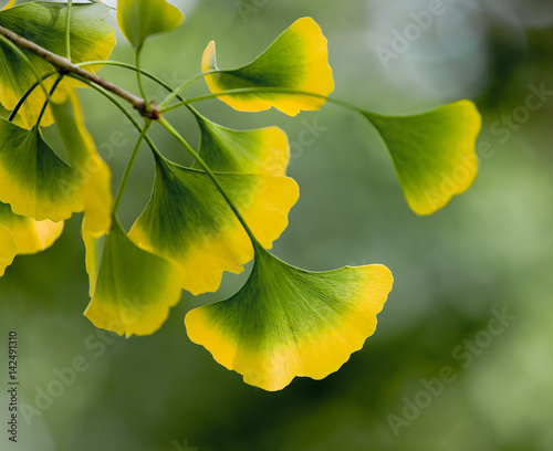 bl tter von ginkgo biloba in herbstf rbung imagens e fotos de stock royalty free no fotolia. Black Bedroom Furniture Sets. Home Design Ideas