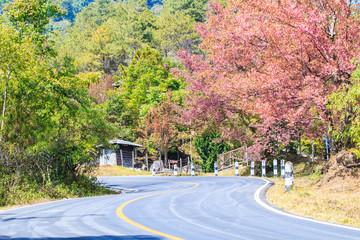 Cherry blossom or Sakura at the wayside