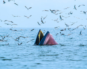 Balaenoptera brydei; Whales eating fish in the Gulf of Thailand
