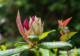 Rhododendron Return
