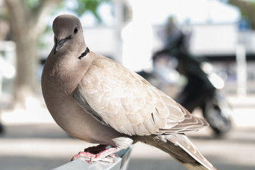 Pigeon perching on a garden chair