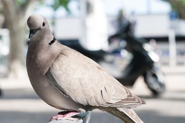 Pigeon perching on a garden chair
