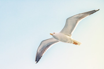 Larus marinus or Great Black backed Gull in closeup from below with bright blue sky in background