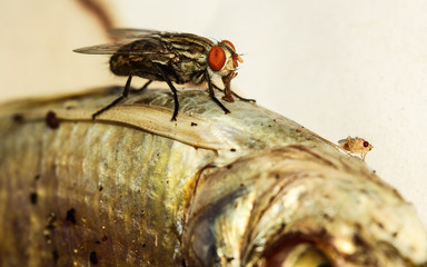 Fly eating dried fish.