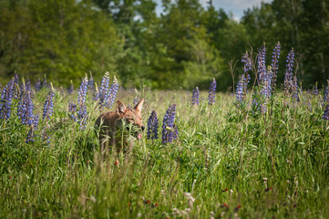Coyote (Canis latrans) Walks Through Lupin