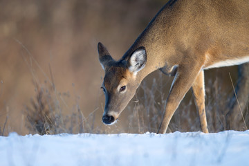 Female Whitetail Deer Sniffing Snow