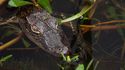 Close-up of baby /  juvenile alligator in Louisiana swamp along Pintail Wildlife Drive at Cameron Prairie National Wildlife Refuge in Louisiana