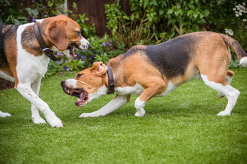 pair of Beagles
