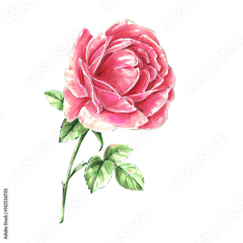 Pink Rose Flower Isolated On White Background Watercolor Single