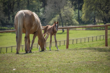 Cute Newborn Foal, Sierra Nevada Foothills