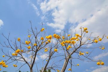 Cochlospermum regium flower on blue sky . Yellow Cotton Tree