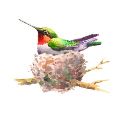 Watercolor Bird Hummingbird in the Nest Hand Drawn Summer Garden Illustration isolated on white background