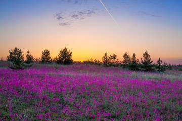 summer rural landscape with purple flowers on a meadow