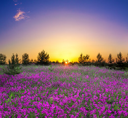 summer rural landscape with flowering purple flowers on a meadow