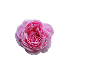 pink rose/ isolated/ white background/ clipping mask