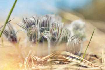 Beautiful spring buds flowers background. Eastern pasqueflower, prairie crocus, cutleaf anemone.Shallow depth of field. Toned. Copy space.