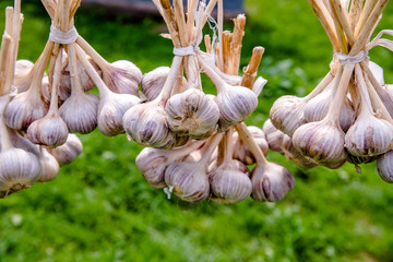several bundles of garlic are dried in the open air