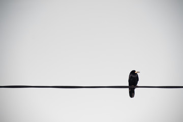 Crow Looking on a Cable wire