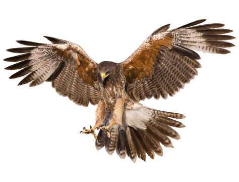 Falcon landing swoop hand draw and paint color on white background illustration.