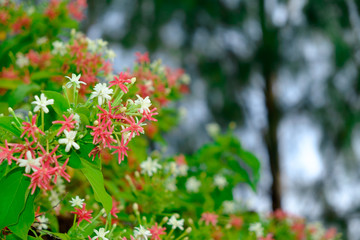 Closeup Rangoon creeper colorful flower for background use
