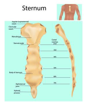 Sternum or breastbone. Structure