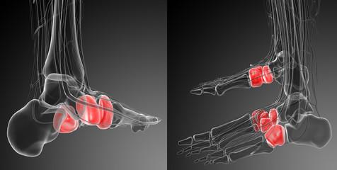 3d rendering medical illustration of the midfoot bone
