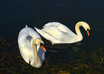 Two swans on the water surface