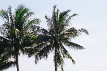 Twin palm trees swaying in the airy salty gulf breeze on a lone island in tropical setting.  Fresh and active lifestyle supports healthy habits on the beach.  Copy space.