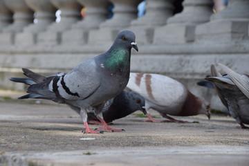 Il pranzo del piccione