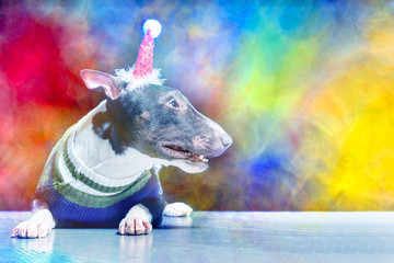 Bull Terrier in Santa Claus hat and sweater lying on a colorful background