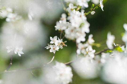 Biene beim Pollen sammeln