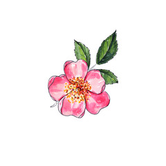 Simple rose flower on white background