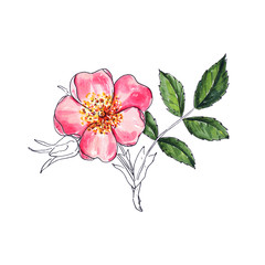 Wild rose flower, watercolor isolated flower