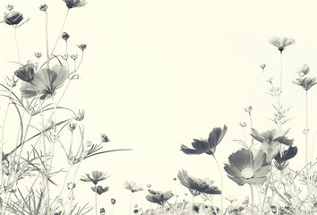 Fototapete - Cosmos Flower with copy space with grain