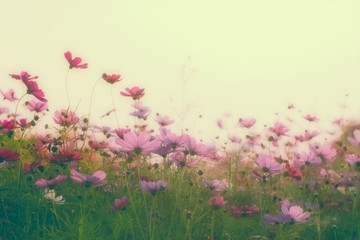 Fototapete - Soft and blurred vintage tone beautiful cosmos flower in the field