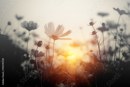 Fototapete Cosmos flower at sunset