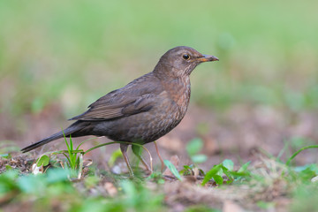 Common Blackbird (Turdus merula). Female