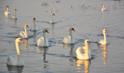 Swans on the Danube river