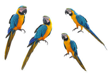 Foto op Aluminium Papegaai A collection of parrot macaws on a white background.