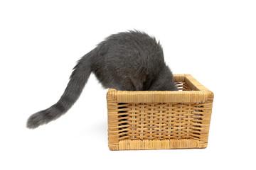 gray kitten climbs into the wicker basket