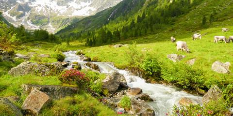 Panorama einer Almlandschaft mit Kühen Wildbach und Gletscher im Hintergrund