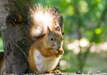 Red squirrel with a fluffy tail sitting on a table eating sunflower seeds and nuts