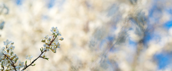 Cherry blossoms over blurred nature background. Spring flowers. Spring Background with bokeh.