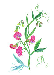 Pink sweet peas, watercolor botanical illustration on a white background.
