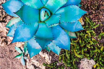 Magic beautiful blue agave plant closeup view
